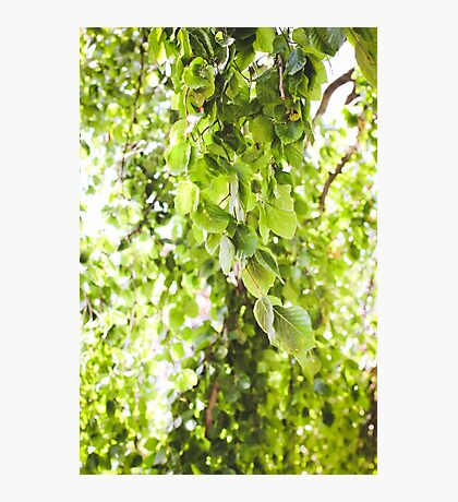 Willow Vert Photographic Print