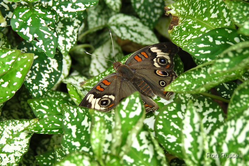 Female Blue Pansy by Ron Russell
