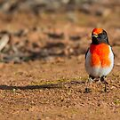 Red Breasted Robin by Bill  Robinson