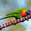 Rainbow Lorikeet At Cedar Creek, Queensland, Australia. by Ralph de Zilva