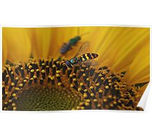 yellow jacket on sunflower Poster