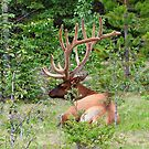 Elk in Jasper National Park by Teresa Zieba