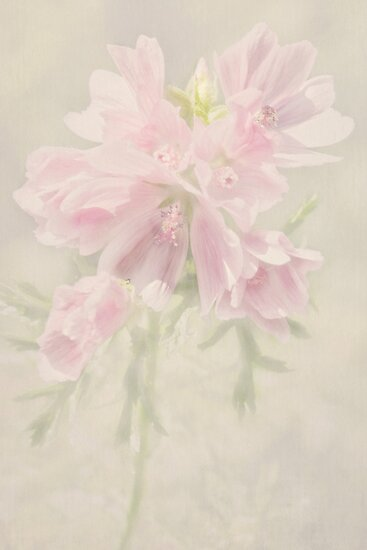 In the Pink by Catherine Hamilton-Veal  ©