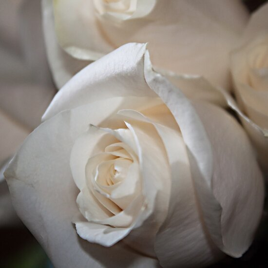 Serenity of a White Rose by Sherry Hallemeier