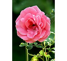 Pink Garden Rose Photographic Print