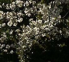Spring amongst the Cherry Plums by wallflowerarts
