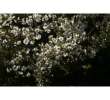 Spring amongst the Cherry Plums Photographic Print