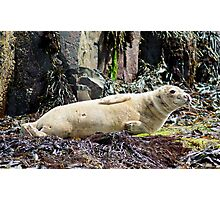 Young Grey Seal Photographic Print