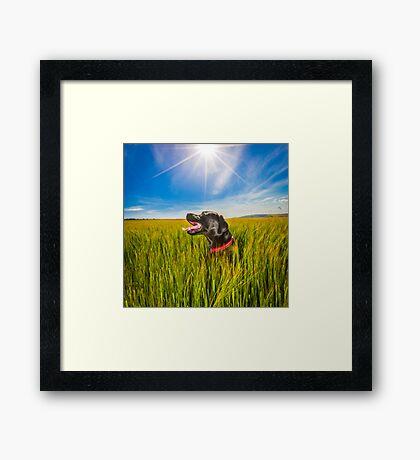 Labrador in the Fields Framed Print