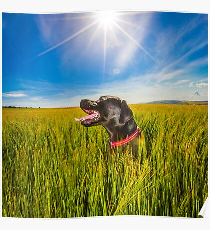 Labrador in the Fields Poster