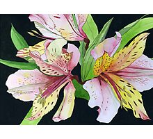 Pink and Yellow Lilies Photographic Print