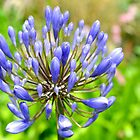 Agapanthus  - Lyme, Dorset. Uk by lynn carter
