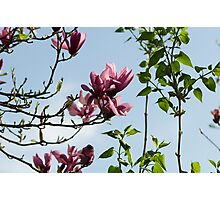 A day of magnolias. Photographic Print