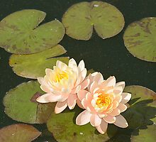 Water Lilies by Ellen Rosen Singer