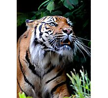 Sumatran Tigress Photographic Print