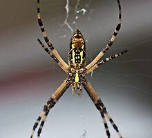 Black and Yellow Argiope spider by Otto Danby II