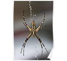 Black and Yellow Argiope spider Poster