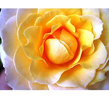 Francis Perry - Rose Photographic Print