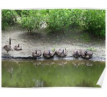 Resting Geese Poster