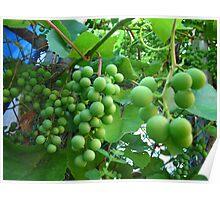 Vinegar grapes Poster