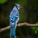 Blue Jay Profile by Daniel  Parent