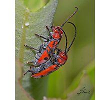 Red Milkweed Beetles - mating Photographic Print