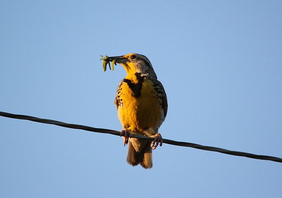MeadowLark with Lunch by Larry Trupp