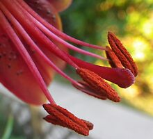 Red Lily Stamen and Anthers by Shauna  Kosoris