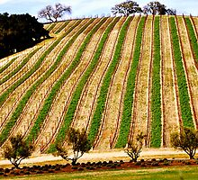 Vineyard Hill.. by JOSEPHMAZZUCCO