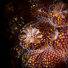 Magnificent Ascidian Sea Squirt, Bass Point by Kerrod Sulter