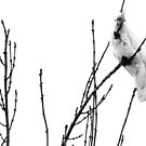 backyard cockatoo b&w by Ike Faithfull