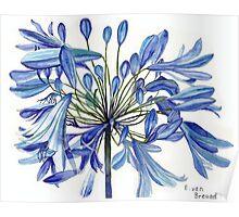 Agapanthus Flower Poster