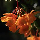Berberis by shadedfaces