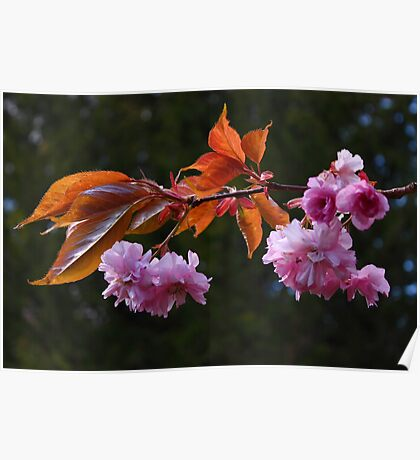 Ornamental Fruit Tree Blossom Poster