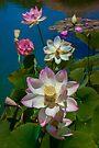 Lotus Pool by Chris Lord