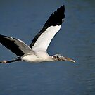 Wood Stork Headed North by Joe Jennelle