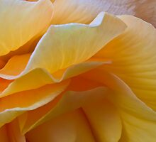 Begonia Macro by Sandra Foster