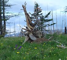 ROOT SCULPTURE IN A BURN - NR BROWNING, MT by May Lattanzio