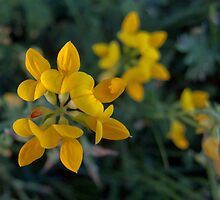 Wild Flower Series:  Birdsfoot Trefoil  No. 2 by Max Buchheit