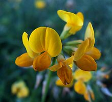 Wildflower series: Birdsfoot Trefoil, No. 1 by Max Buchheit