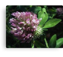 Wildflower series: Wild White Clover, No. 2 Canvas Print