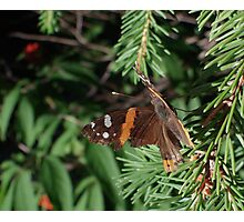 Butterfly Macros: Red Admiral Photographic Print