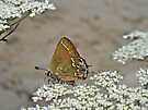 Olive Hairstreak Butterfly - Mitoura grynea - Juniper Hairstreak by MotherNature