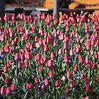 Tulips Takeover by dsimon