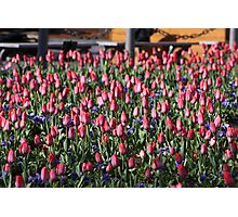 Tulips Takeover Photographic Print