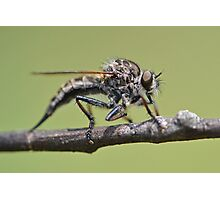 Cute and Fluffy Robber Fly Photographic Print