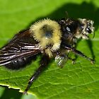 Robber Fly Bumble Bee Mimic by William Brennan