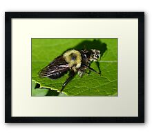Robber Fly Bumble Bee Mimic Framed Print