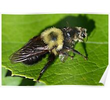 Robber Fly Bumble Bee Mimic Poster