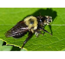 Robber Fly Bumble Bee Mimic Photographic Print